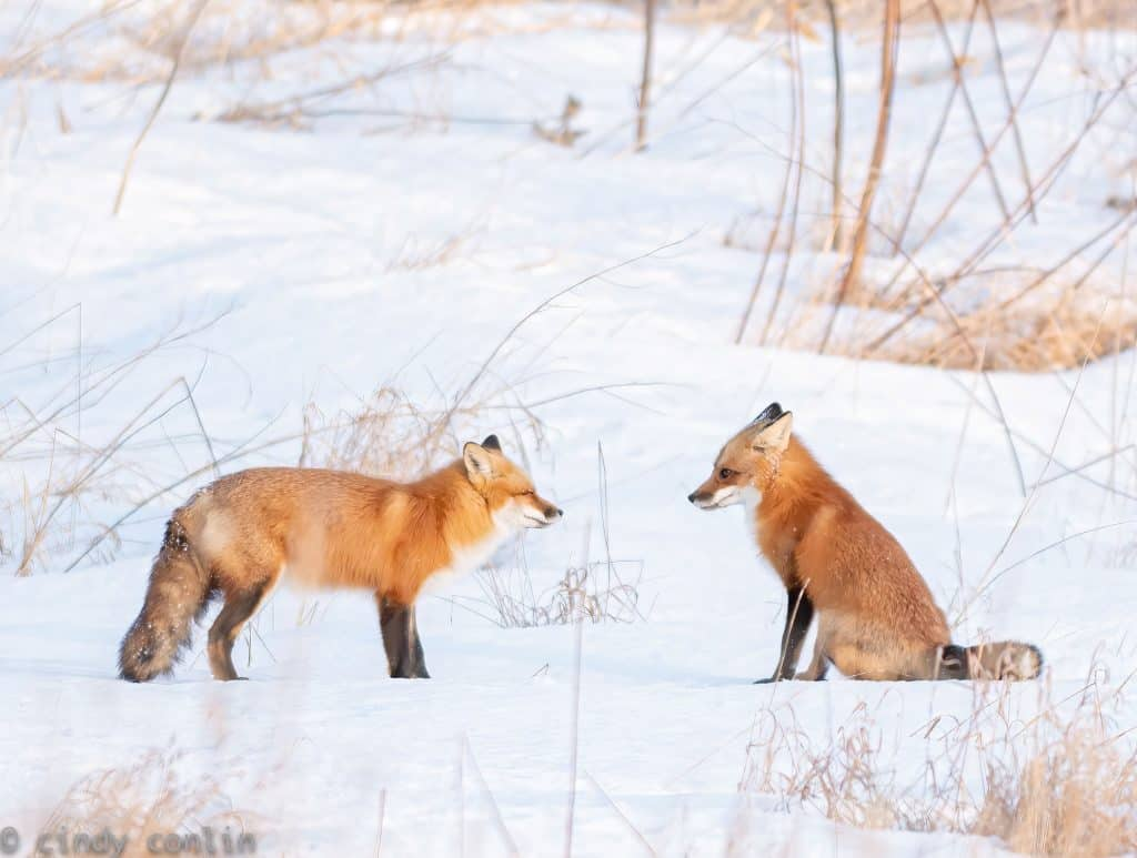 Fox Greeting. Photo by Cindy Conlin.