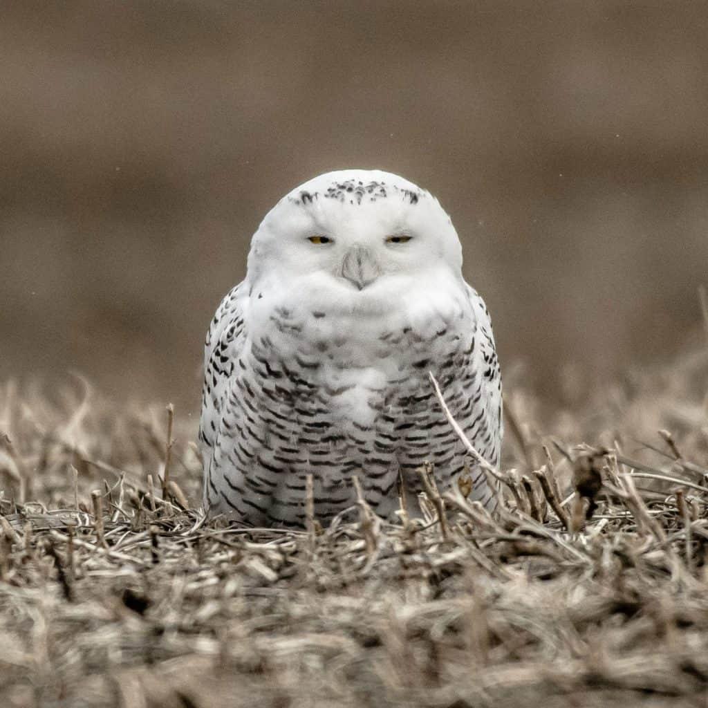 Snowy owl. Photo by Cindy Conlin.