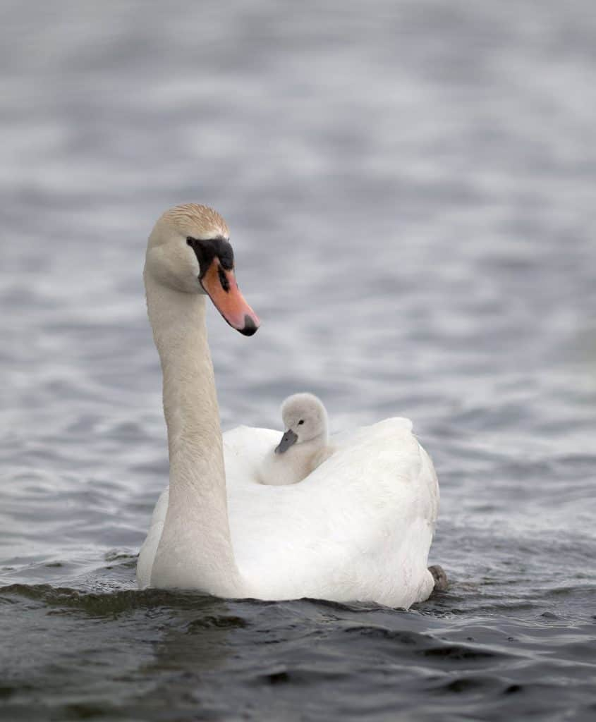 Swan with cygnet. Photo by Cindy Conlin.